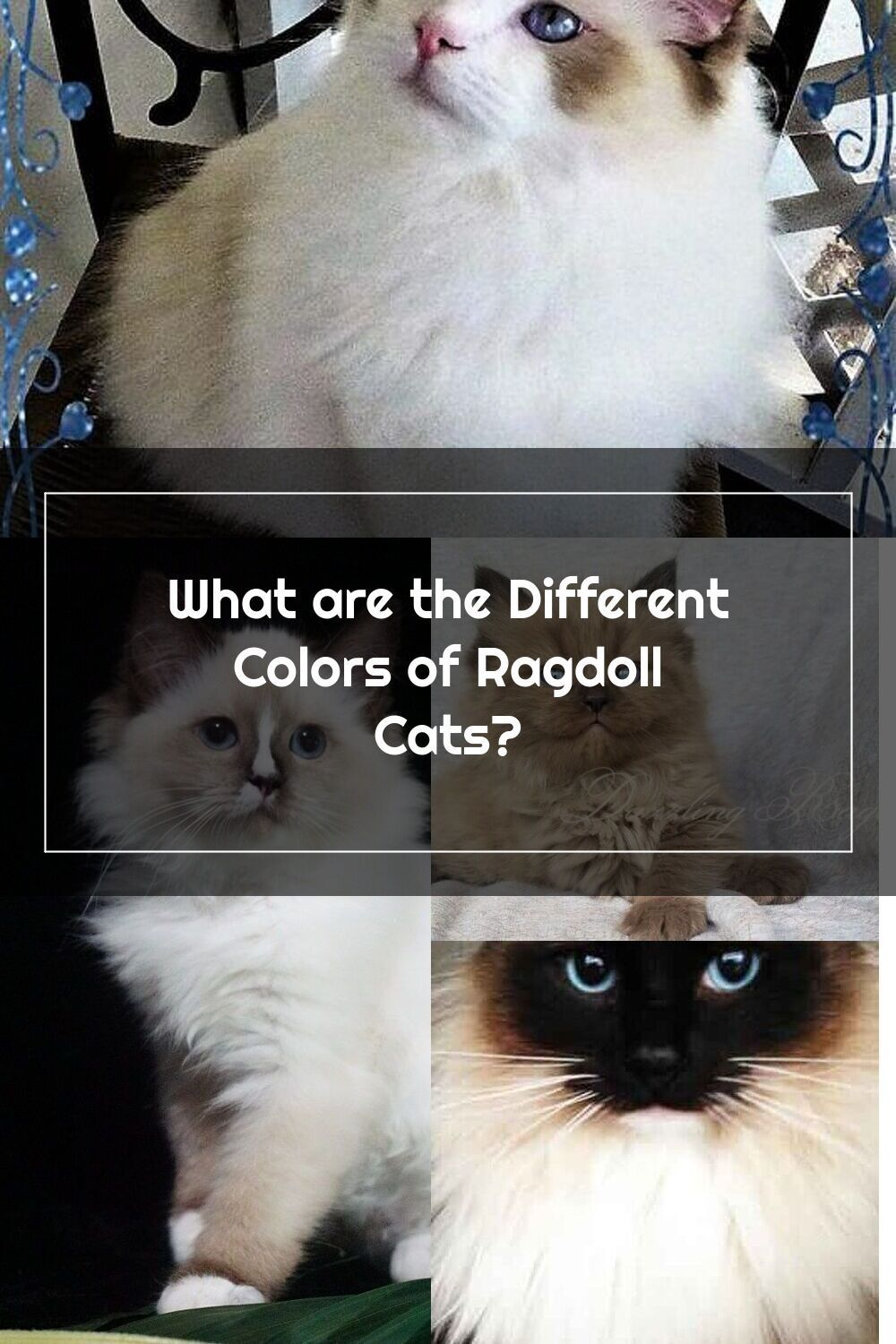 Pin On Ragdoll Cats