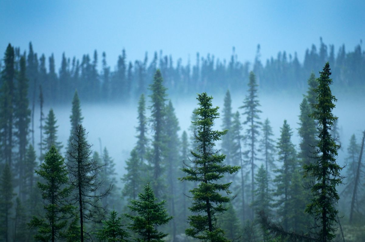 Is The Boreal Forest On The Edge Of A Climate Change Tipping Point Boreal Forest Forest Ancient Forest