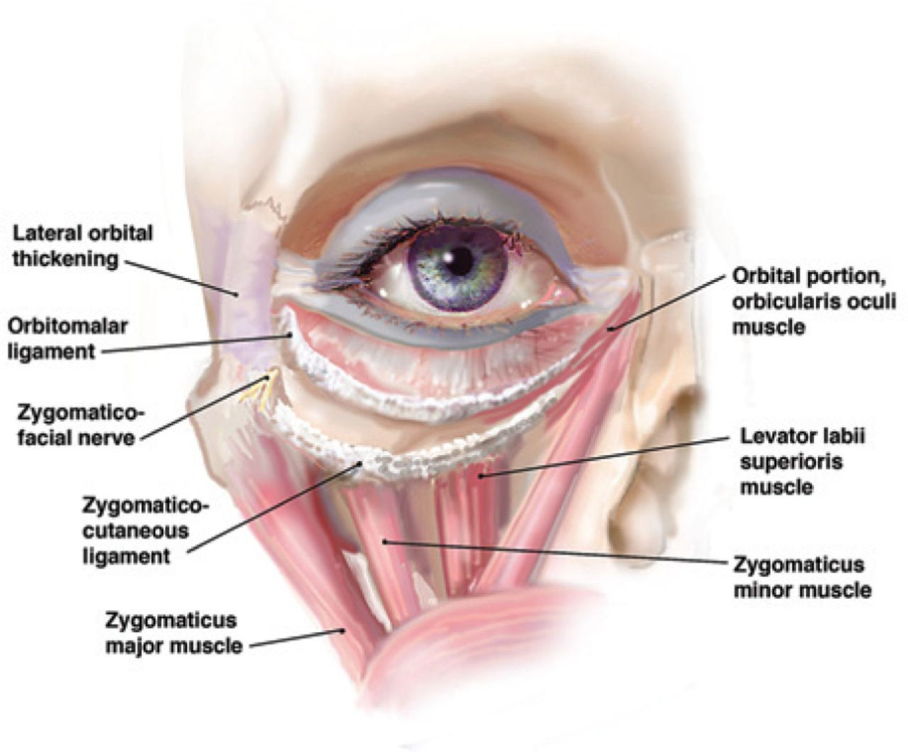 eye muscle anatomy - Google 검색 | Anatomia ja body | Pinterest ...