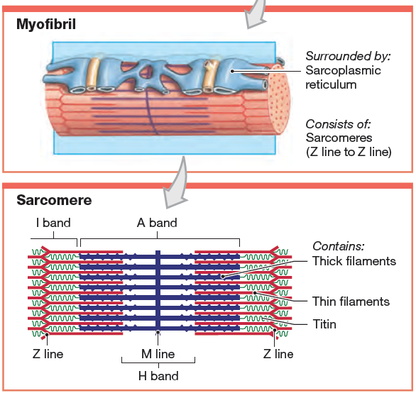 Structure And Position Of Titin In A Sarcomere Human Anatomy And Physiology Physiology Muscle Anatomy
