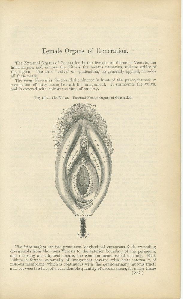 Antique Medical Engraving Surgical Anatomy The Vulva Female Organs ...