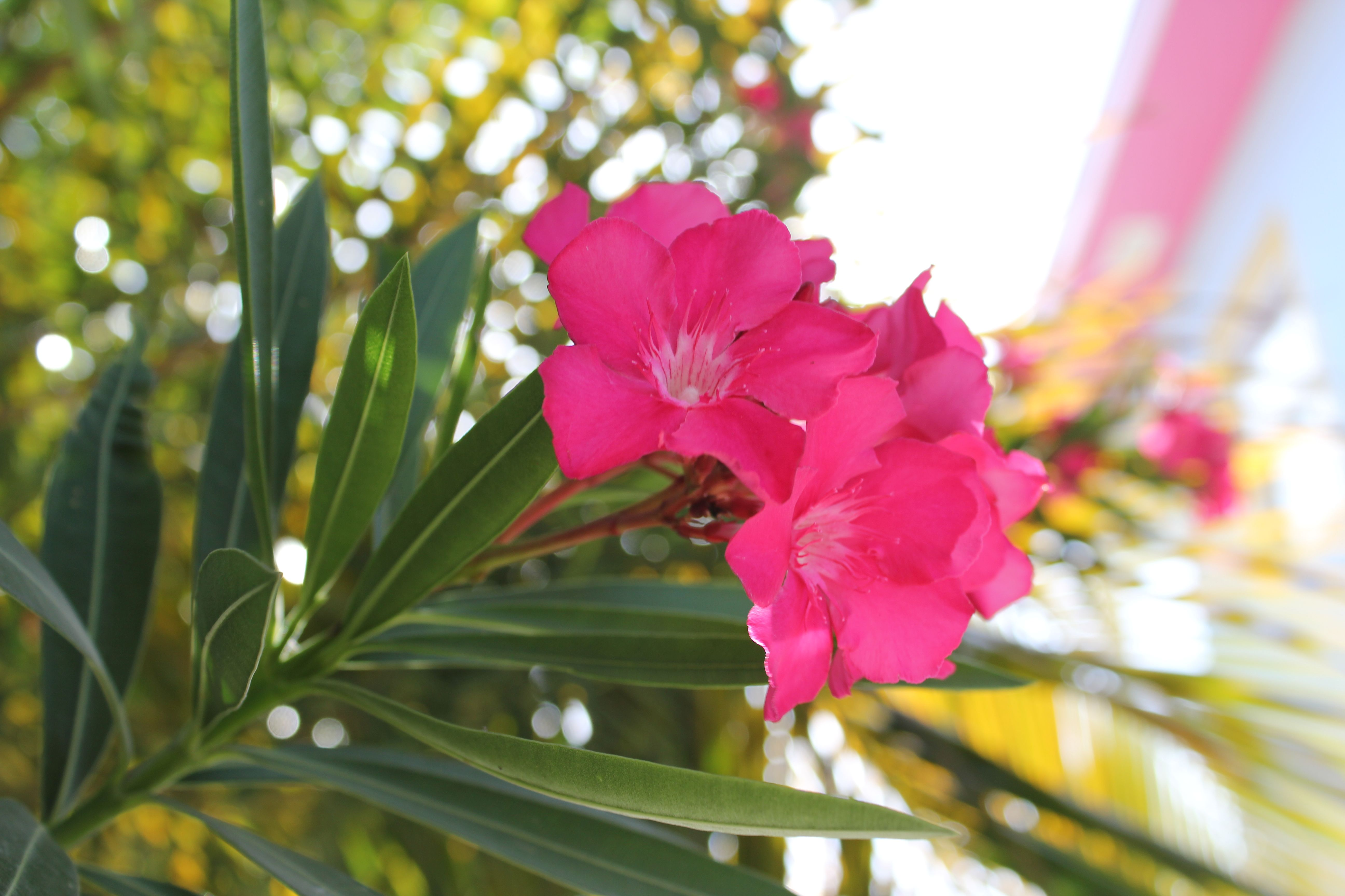 Pink Flowers in Cozumel, Mexico!