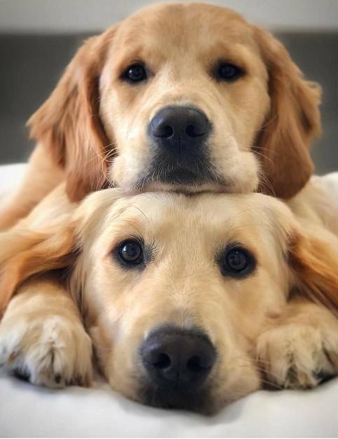 Labrador Retrievers In 2020 Golden Retriever Cute Puppies Cute