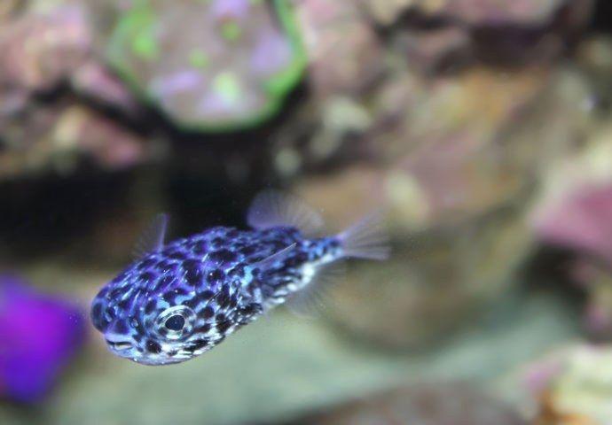 Rare Blue Porcupine Puffer Fish Puffer Fish Fish Red Fish