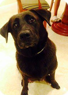 Boca Raton Fl Labrador Retriever Mix Meet Velvet A Dog For Adoption W Have A Heart Inc A South Labrador Retriever Labrador Retriever Mix Dog Adoption