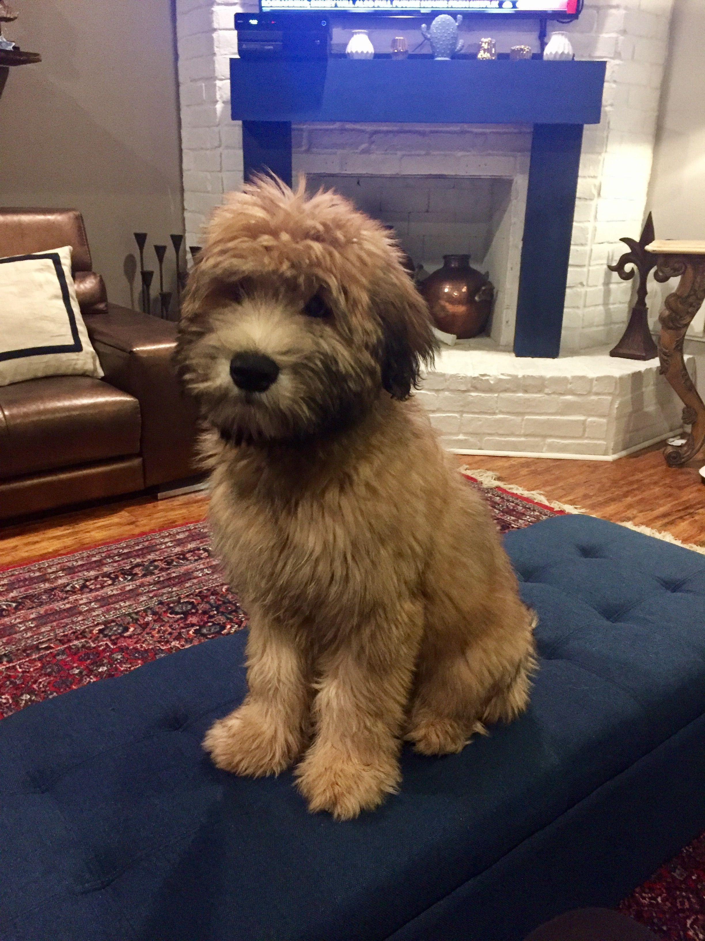 Frankie Grey Soft Coated Wheaten Terrier Wheaten Terrier Puppy