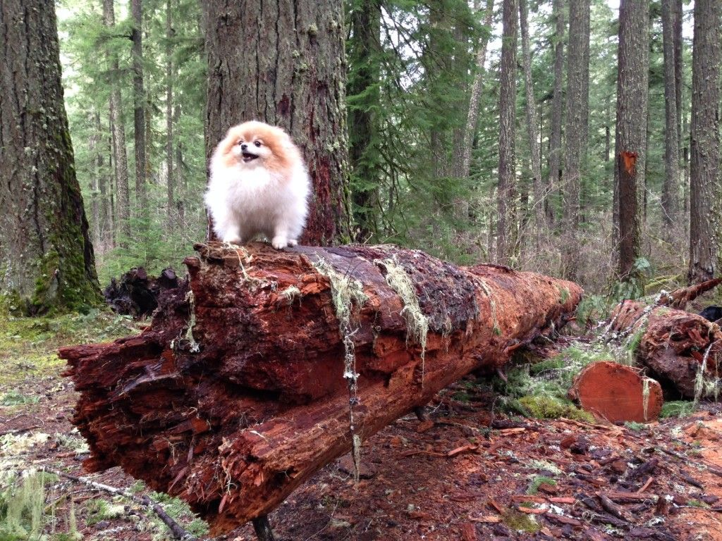 Triumphant hiking Pomeranian | {Wordless Wednesday} Brave Boy - SheSpeaksBark