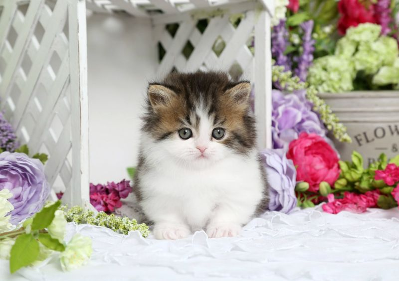 Rug Hugger Kitten For Sale | Cuddly Cuties | Pinterest | Heart, White Rug  And For Sale