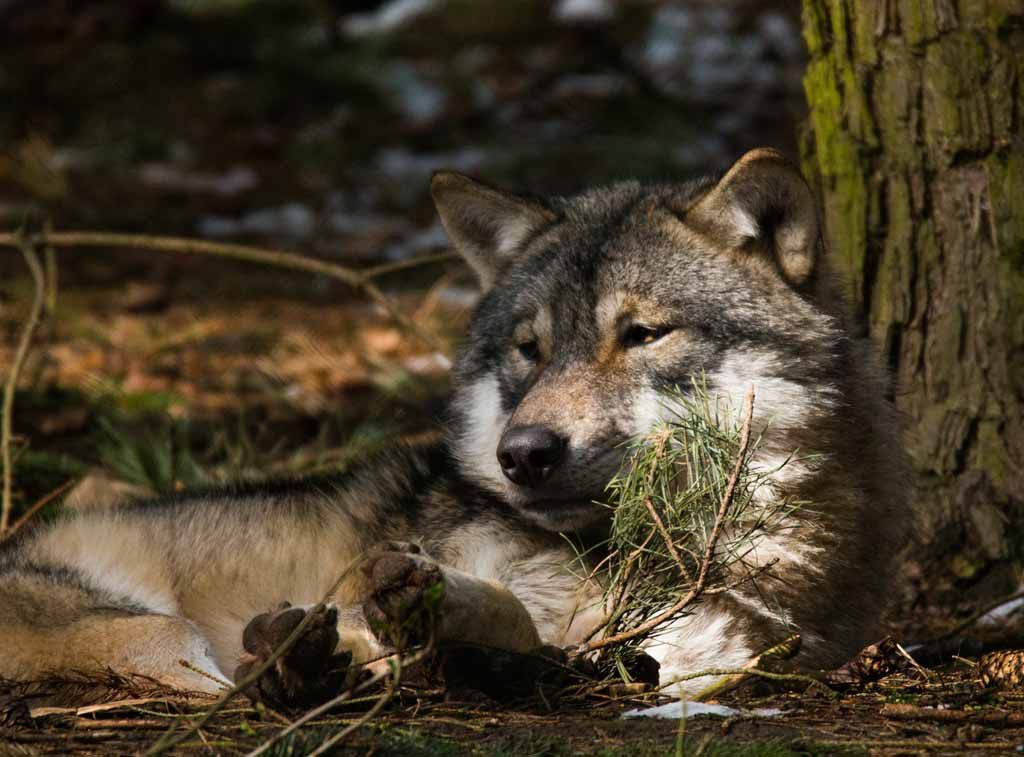 Auf Entdeckungstour Im Wildpark Mv Tiere Ausflug Wolf