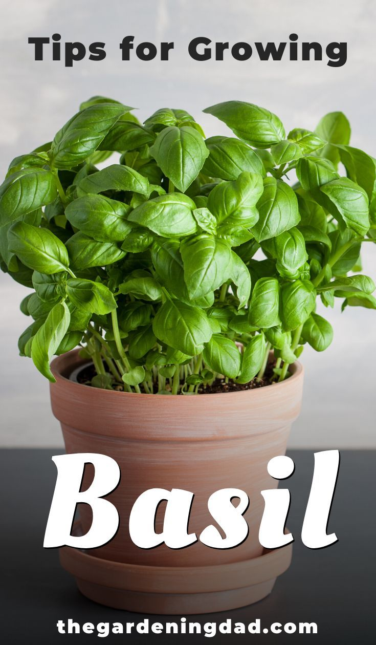 How to Grow Basil from Seed 10 Simple Tips is part of Growing basil, Easy herbs to grow, Growing herbs outdoors, Growing basil indoors, Herbs, Gardening for beginners - Are you interested to learn how to grow basil from seed, but don't know where to start  Then follow the 10 Simple Tips in this article!