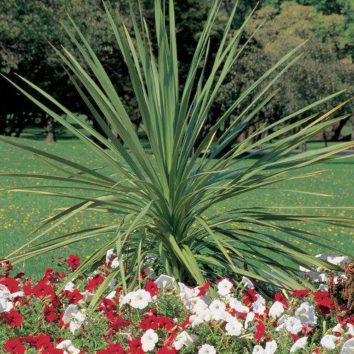 Spikes Dracaena Indivisa Full Sun To Part Sun Container Dracaena Plant Shade Plants Dracaena