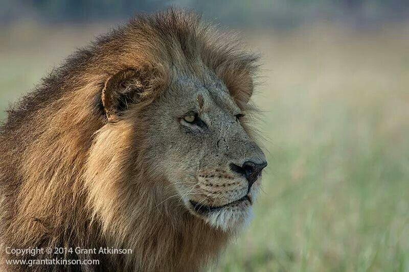 Okavango male lion