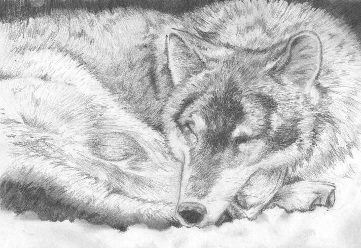 447ecb38d realistic wolf drawings - Google Search | Drawing class ideas ...