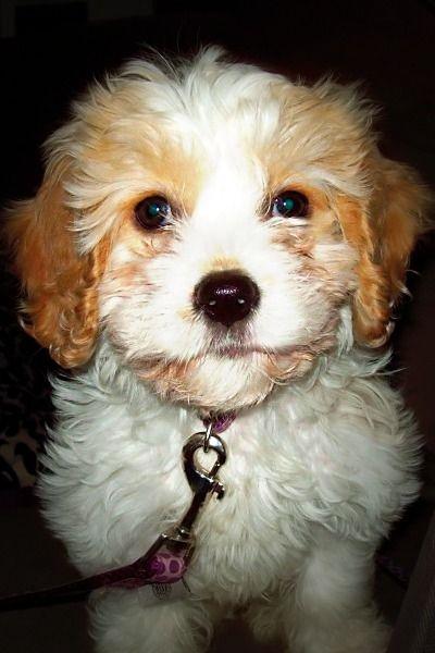 Hattie Cavachon Love Dog Breeds Cute Dogs Cavachon