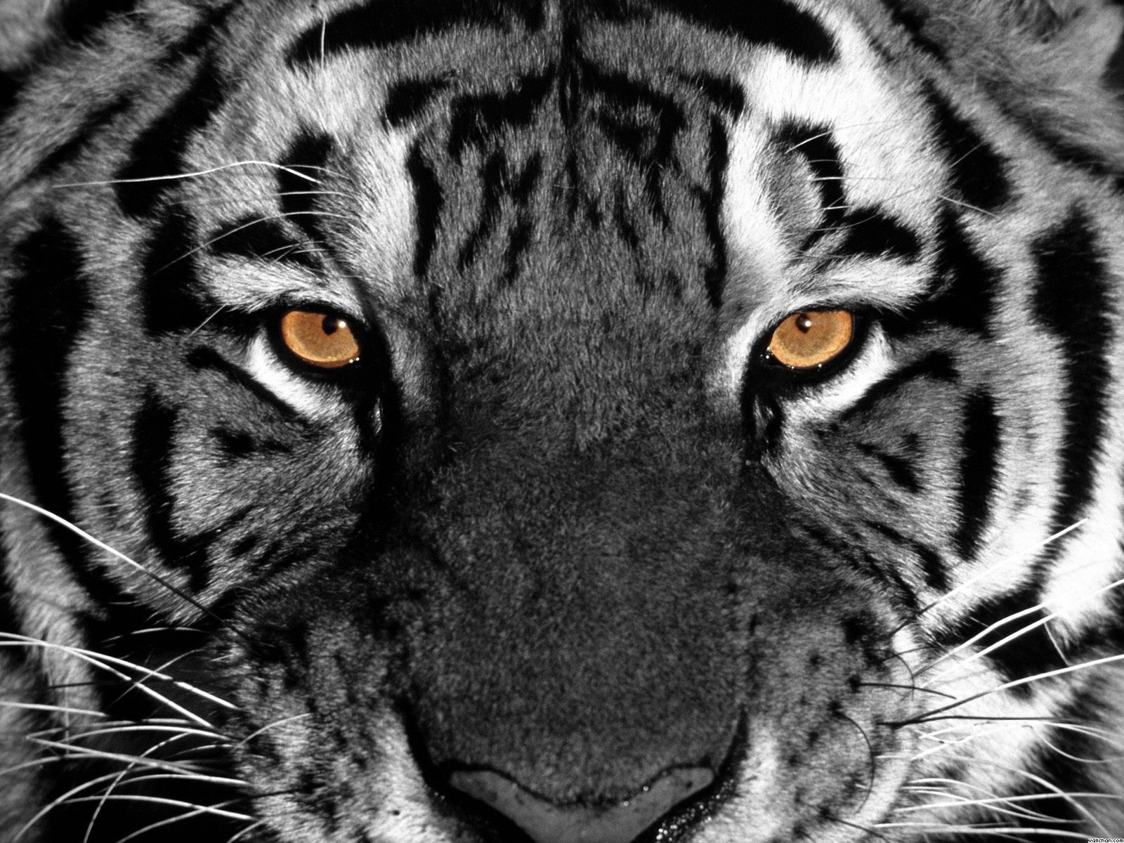 Angry Tiger Images Hd 1920x1080 Tiger Wallpaper Full Hd 65 Images