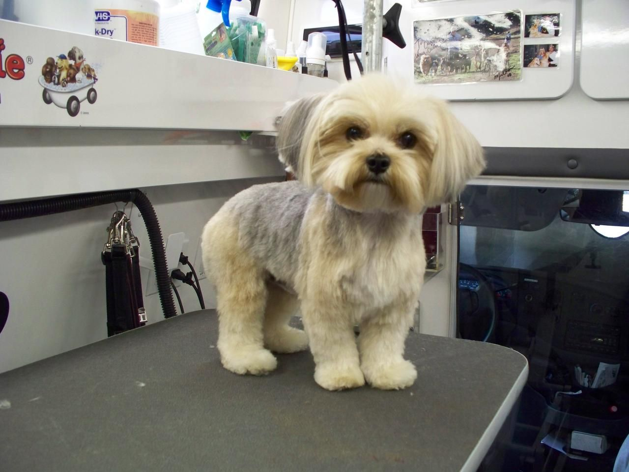 Yorkie After Grooming To Do Pinterest Haircuts Morkie Puppies