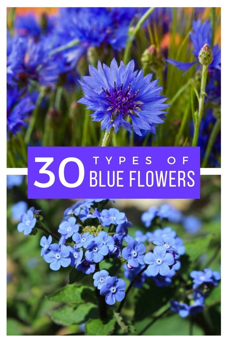 popular types of blue u violet flowers for your garden a to z