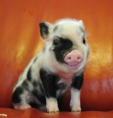 I want this micro mini piglet, so freakin cute ;)
