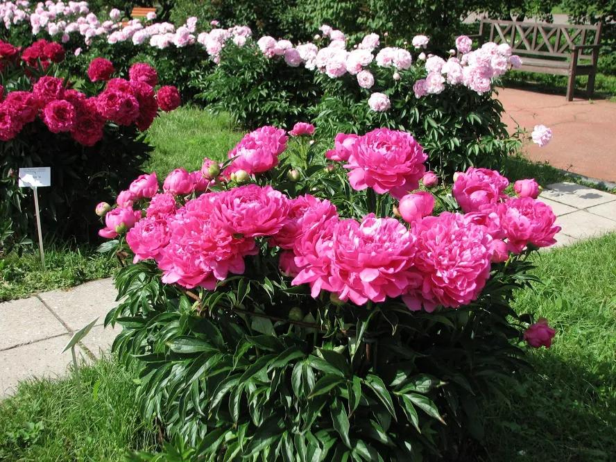 Piwonia W Ogrodzie Jak Sadzic Uprawiac I Rozmnazac Wideo Twojogrodek Pl Floral Floral Wreath Garden