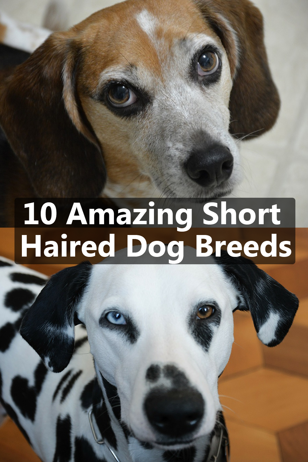 10 Amazing Short Haired Dog Breeds Short Haired Dog Breeds Short Haired Dogs Dog Breeds