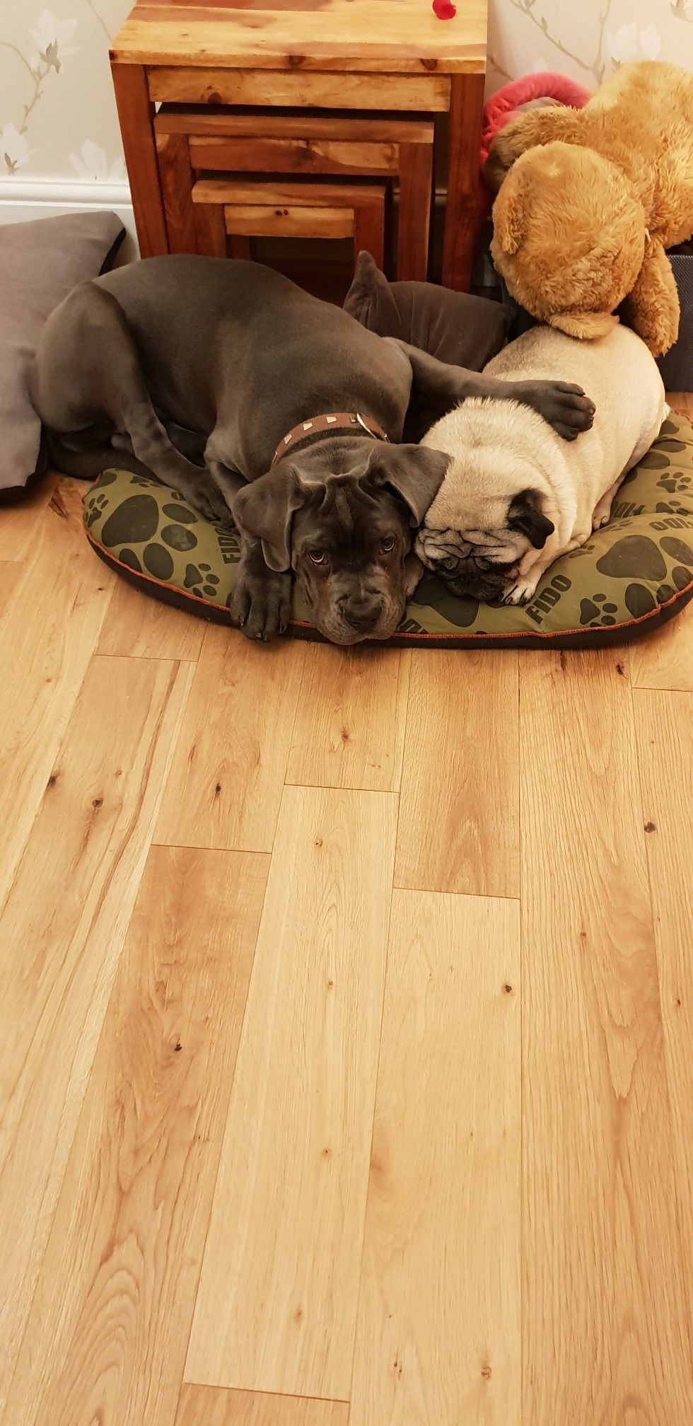 Cane Corso Puppy With Adult Pug Cane Corso Puppies Cane Corso