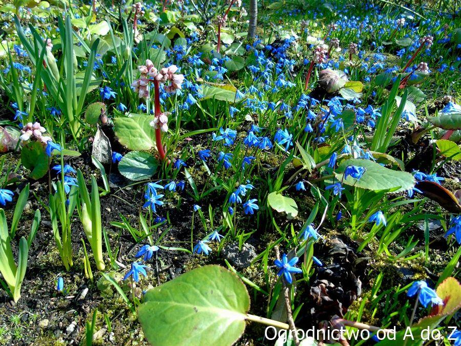 Ogrod W Barwach Nieba Wybrane Rosliny Kwitnace Na Niebiesko Blue Flowers Plants Flowers