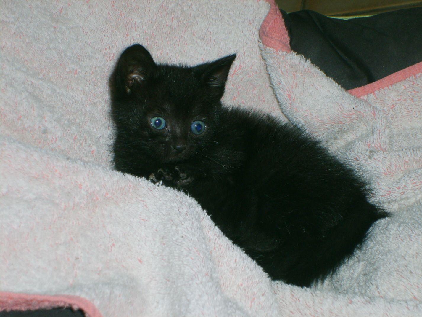 bebe chat noir black kitten black