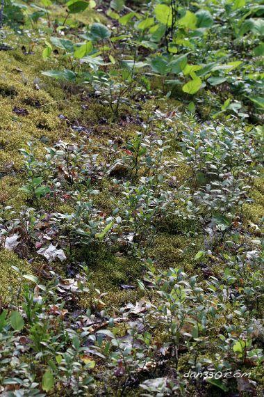 Picking Wild Blueberries at Elbow Lake #dan330 http://livedan330.com/2015/08/14/buying-blueberry-plants/