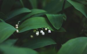 Preview wallpaper lily of the valley, flowers, leaves
