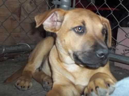 Adopt Big Red On Black Mouth Cur Dog Labrador Retriever Dog