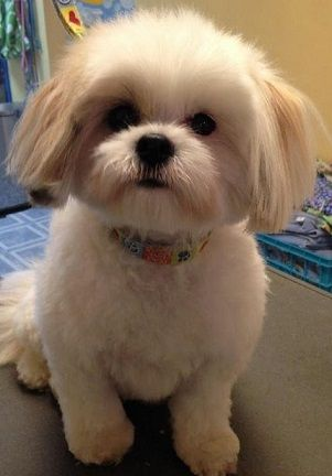 Top 6 Shih Tzu Haircuts Page 3 Of 6 Pets Pinterest Shih Tzu