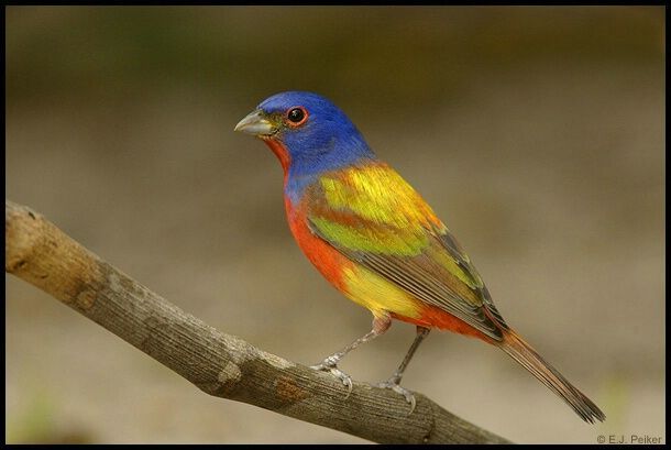 Painted Bunting - Photograph at BetterPhoto.com