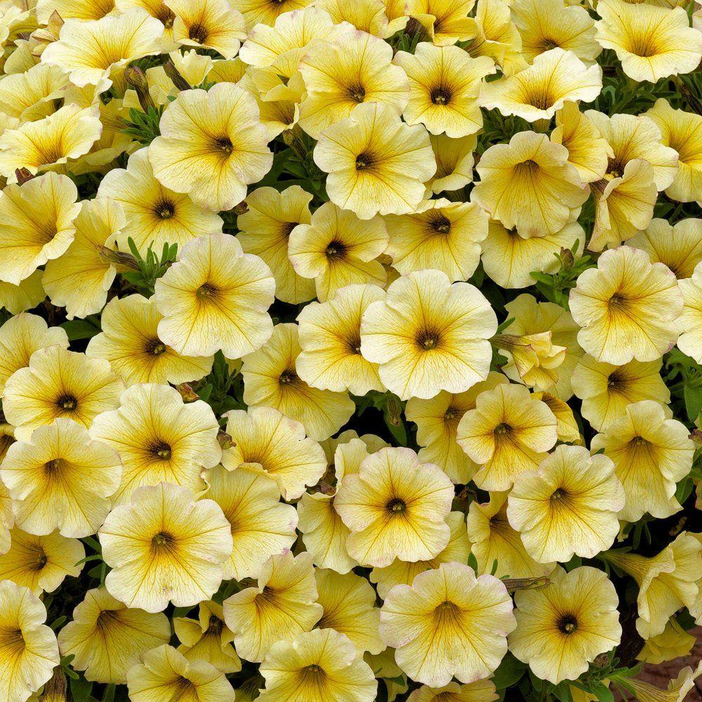 Supercal Light Yellow Petchoa Plant Plants Petunias Petunia Flower