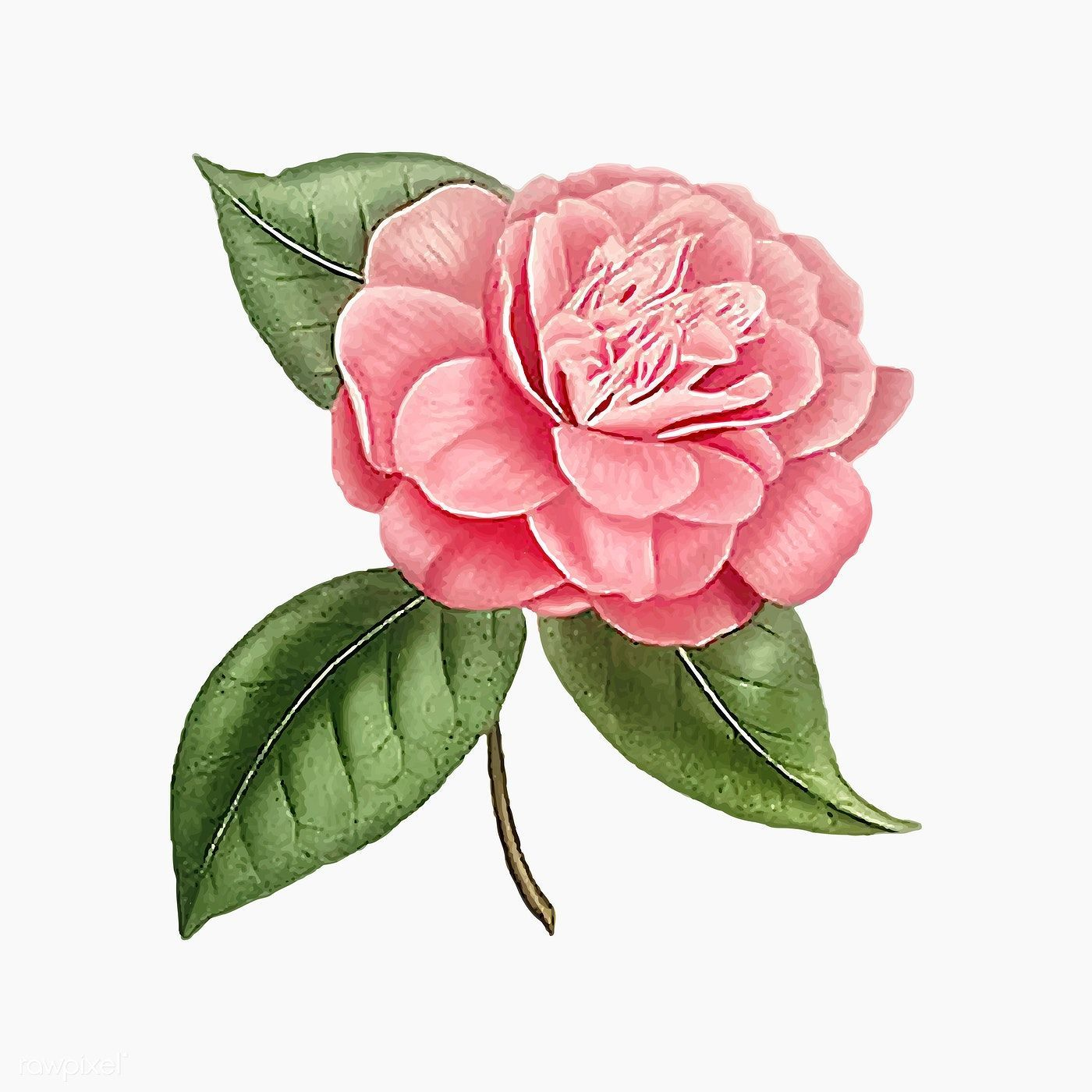 Download Premium Vector Of Pink Camellia Rose Flower Vector 2090127 Camellia Download Flower In 2020 Flower Illustration Watercolor Flowers Paintings Camellia Flower