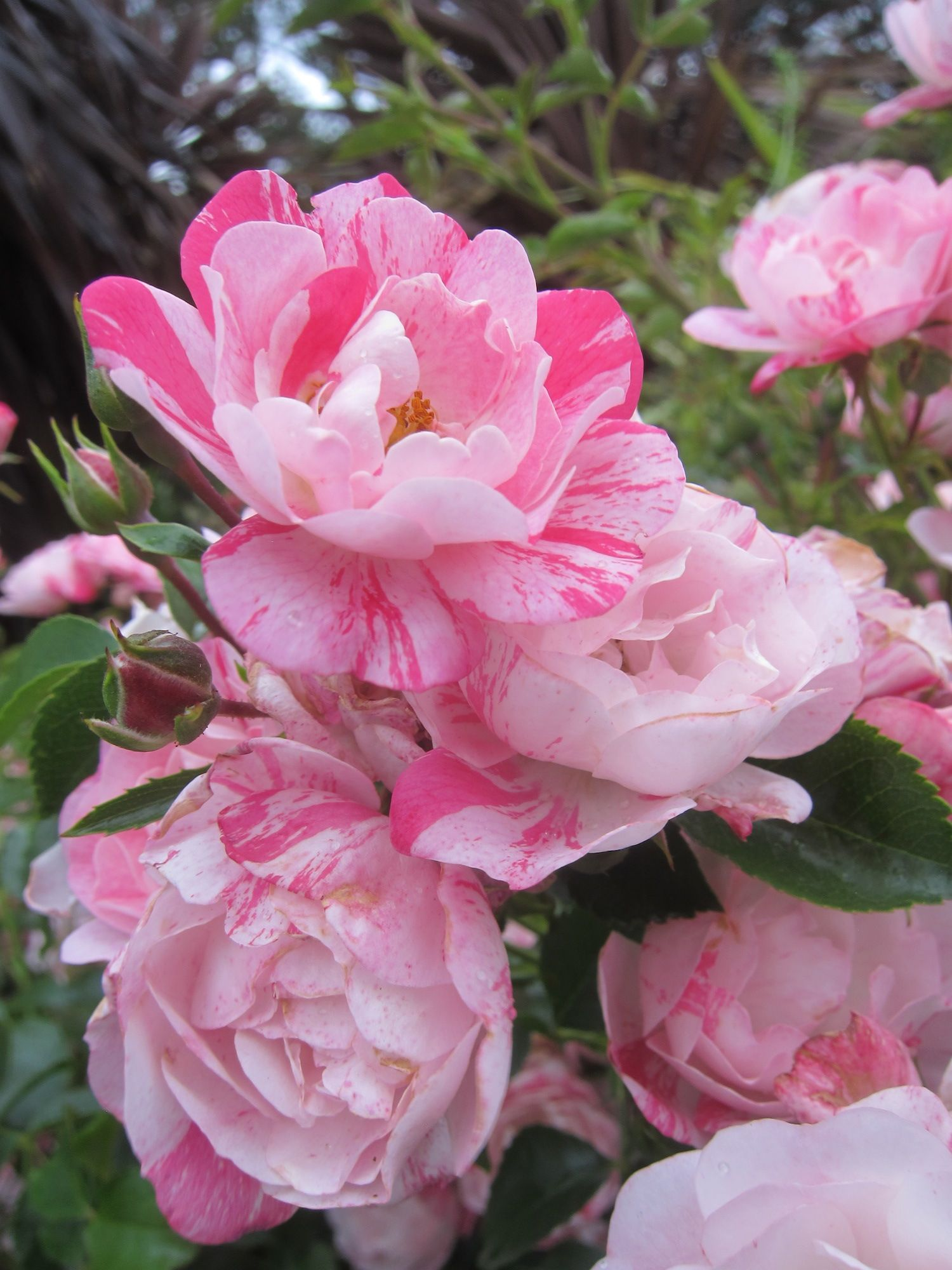 Low Maintenance High Performance Flower Carpet Rose Pink Splash The Perfect Landscape Plant Flowers Rose Plant Care Landscaping With Roses