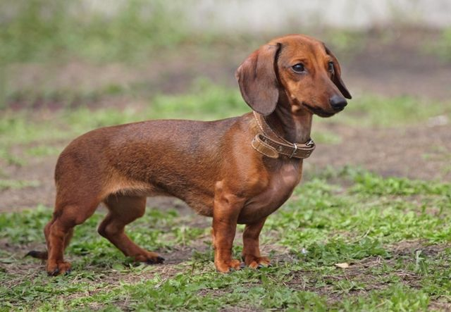 Pin by Dog is Best on FCI Group 4 Dachshunds Dog breed