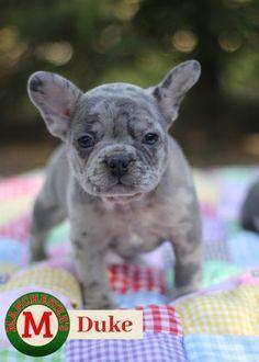 Duke Male Akc French Bulldog Puppy For Sale In Missouri Gatos