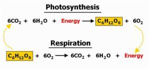 phtosynthesis and respiration Photosynthesis & respiration what is photosynthesis the process of photosynthesis is a chemical reaction it is the most important chemical reaction on our planet.