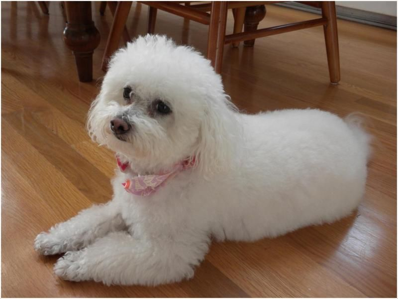 Bolognese Dog Dog Facts Bichon