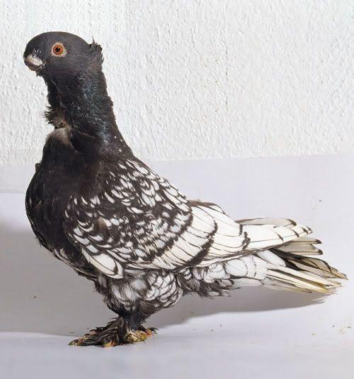 حمام الشامي الهنكري Pigeon Breeds Pigeon Animals