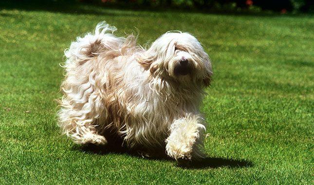 Tibetan Terrier Dog Breed Information Tibetan Terrier Terrier Terrier Dog Breeds