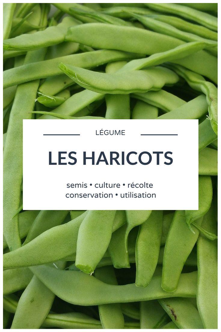 Haricots : semer, cultiver, récolter au potager