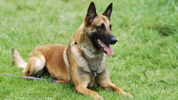 Everything You Need To Know About The Belgian Malinois Belgian Malinois Dog Belgian Malinois Malinois Dog