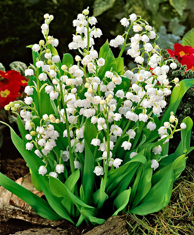 Lily of the valley reminds me of my papa and my childhood i must lily of the valley reminds me of my papa and my childhood i must have these in my bouquet someday flowerslovers pinterest flowers childhood and izmirmasajfo Images