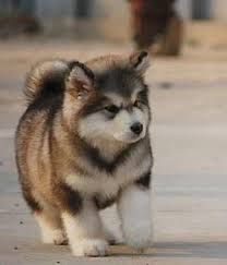 A Little Bear Giant Alaskan Malamute Puppy Saw An Adult On