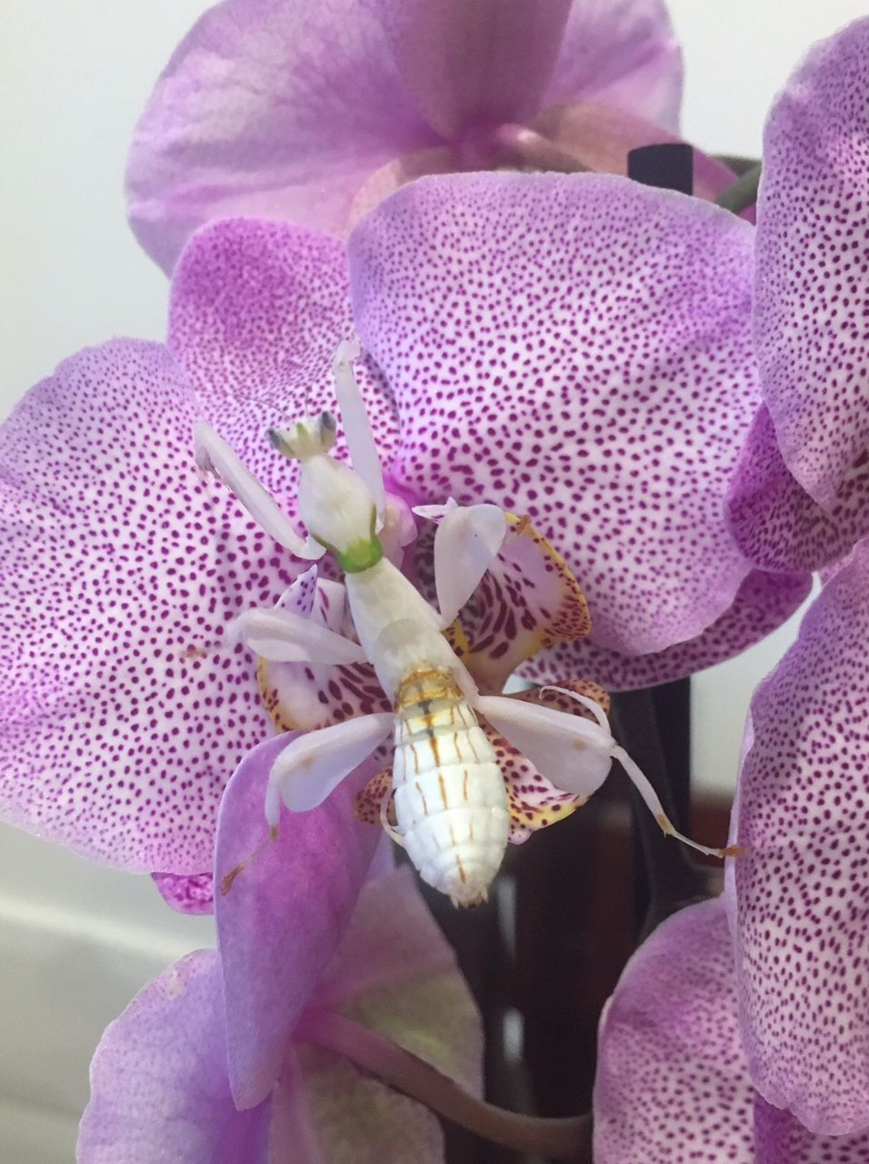 Buy Orchid Mantis Buy Orchids Orchid Mantis Orchids