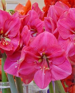 Jumbo Amaryllis Lagoon Amaryllis Plant Amaryllis Flowers Flower Pot Design