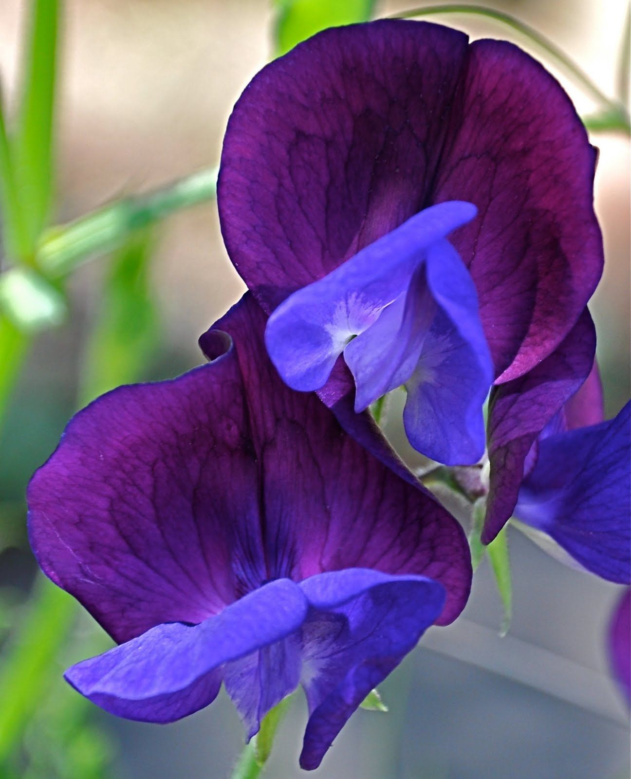 Brian howlett photography sweet pea blue and purple flowers i brian howlett photography sweet pea blue and purple izmirmasajfo