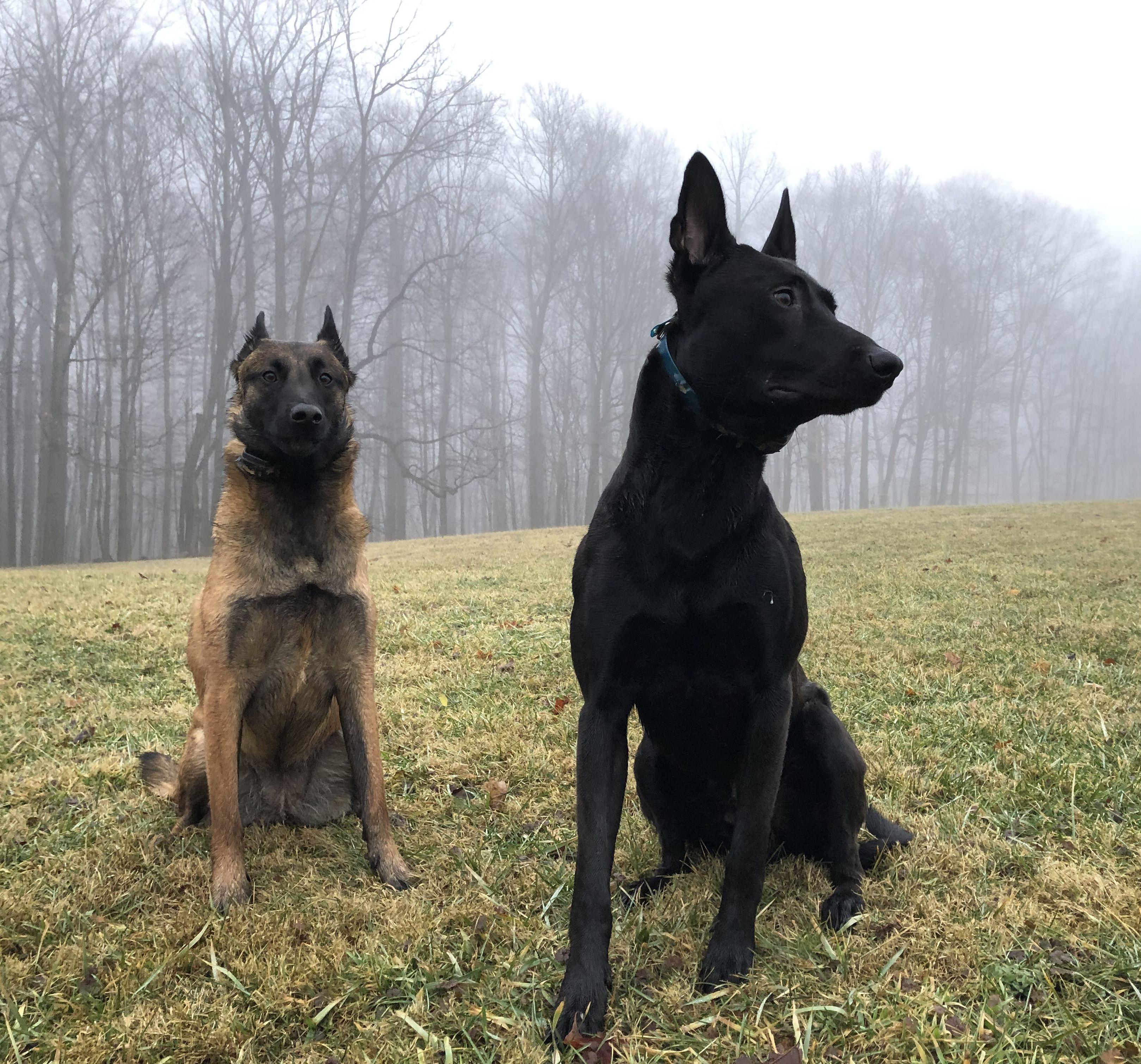 Team Malinois On Guard Belgian Malinois Wolf Dog Malinois