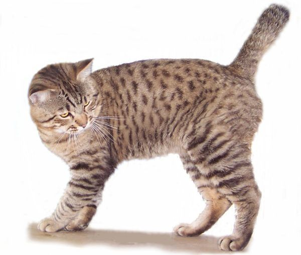 American Bobtail Cats Tails